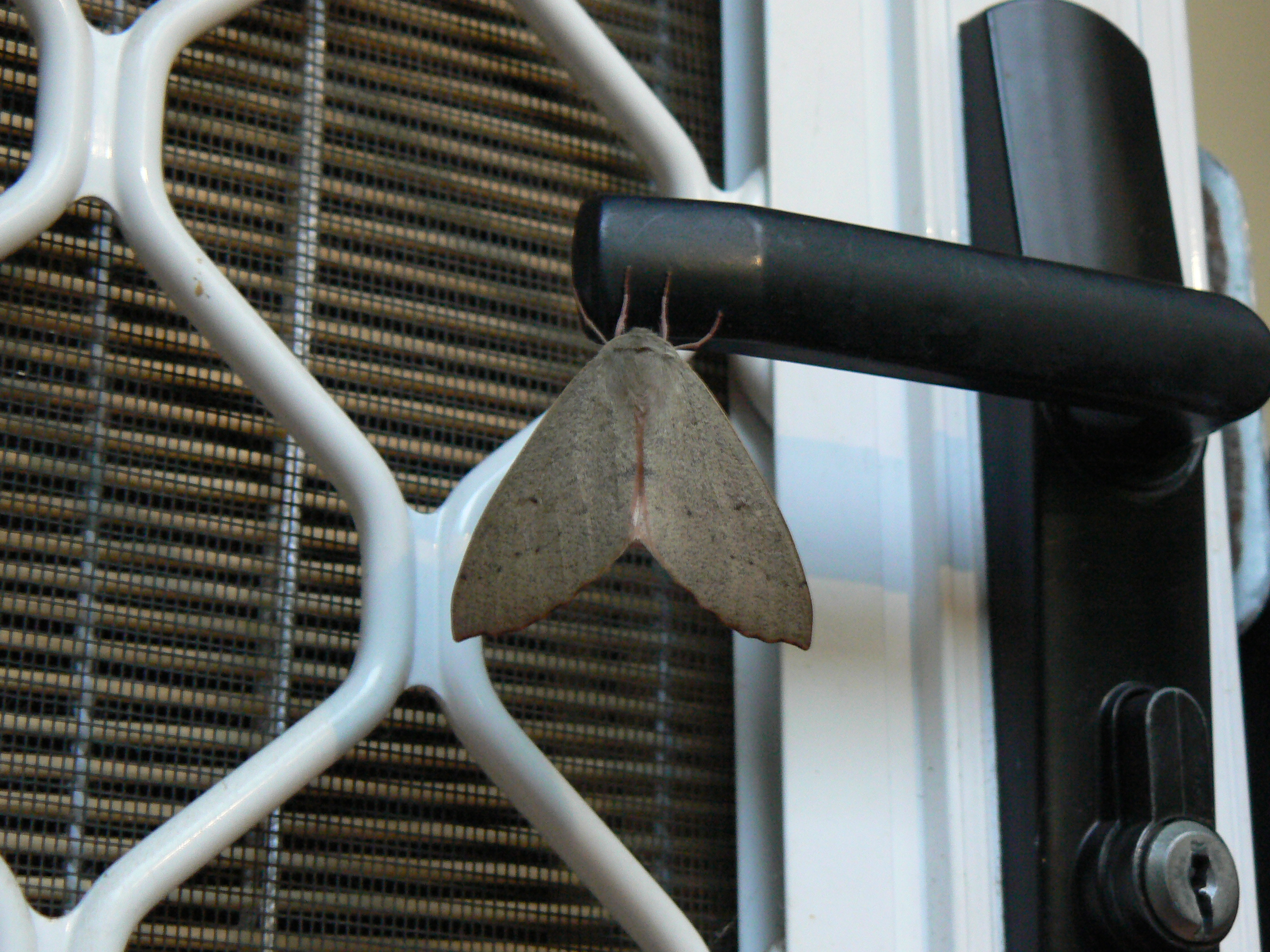 It's a big Canberra Door Moth