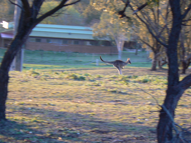 Near the bottom of the mountain, a Kangaroo bounds past.