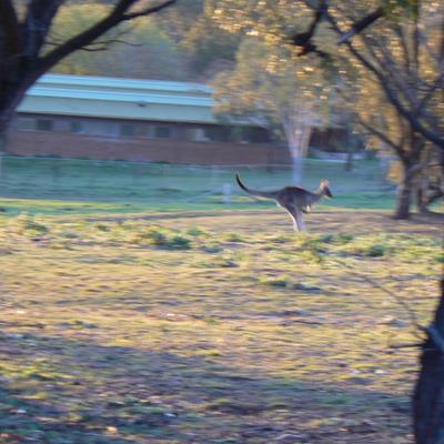 Kangaroo on Mount Majura
